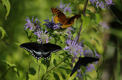 Spicebush Swallowtail and Aphrodite Fritillary, photo by Sasha Vasko via Flickr