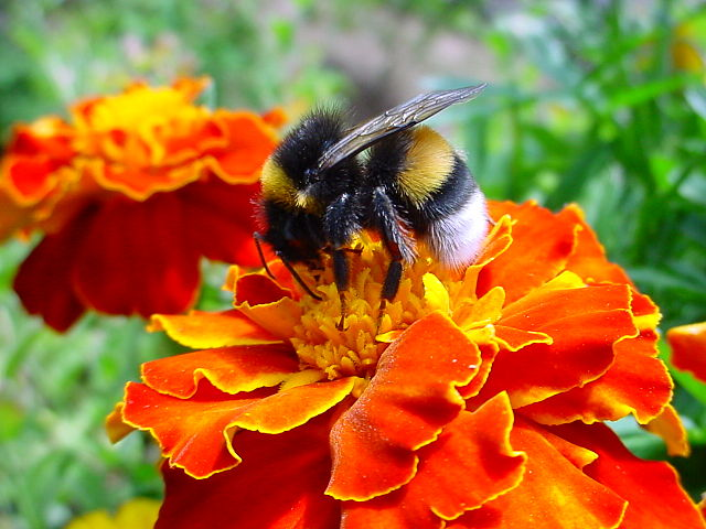 A bumble-bee examining a tagetes flower.