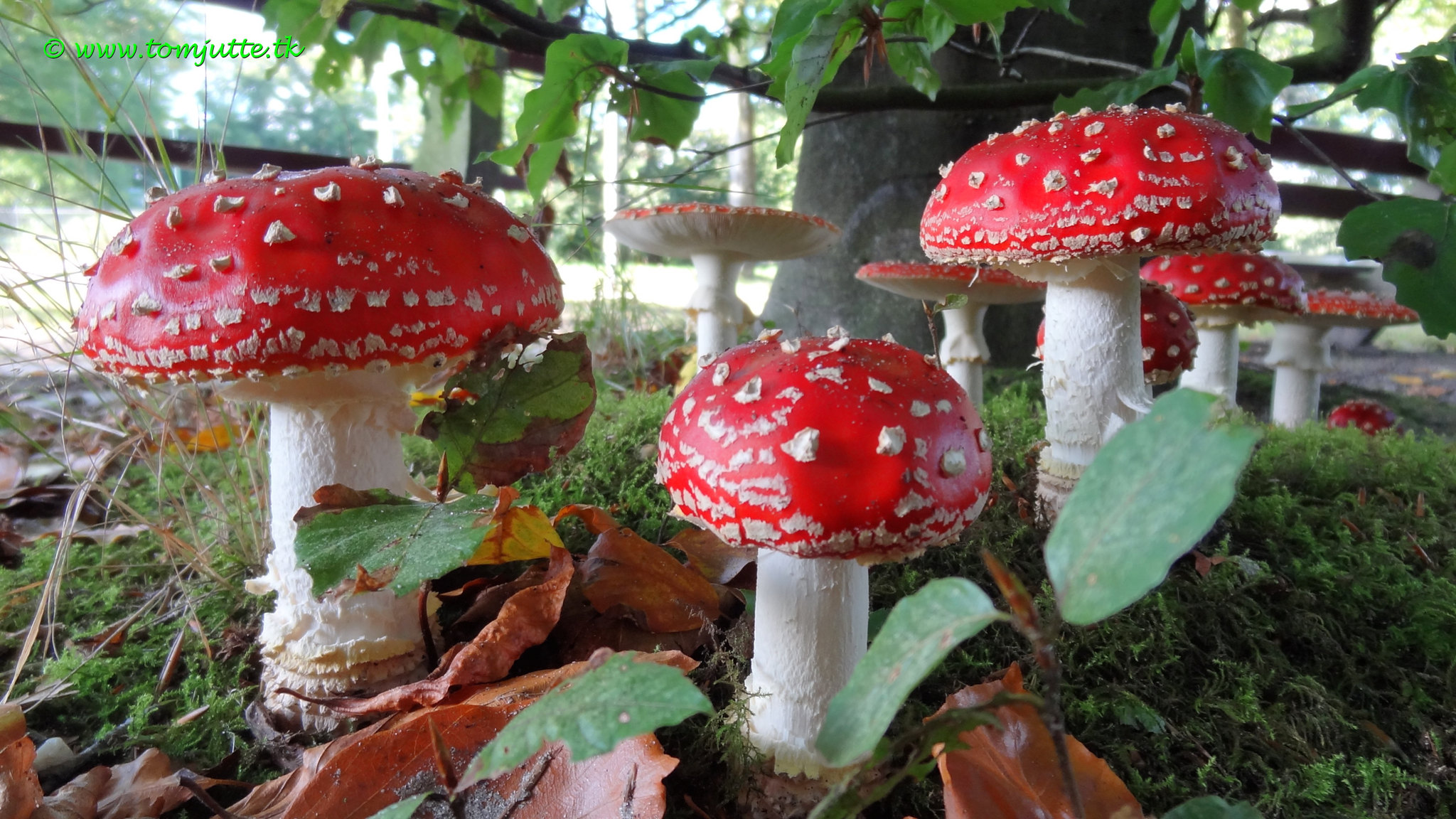 Red toadstools with white spots and white stems