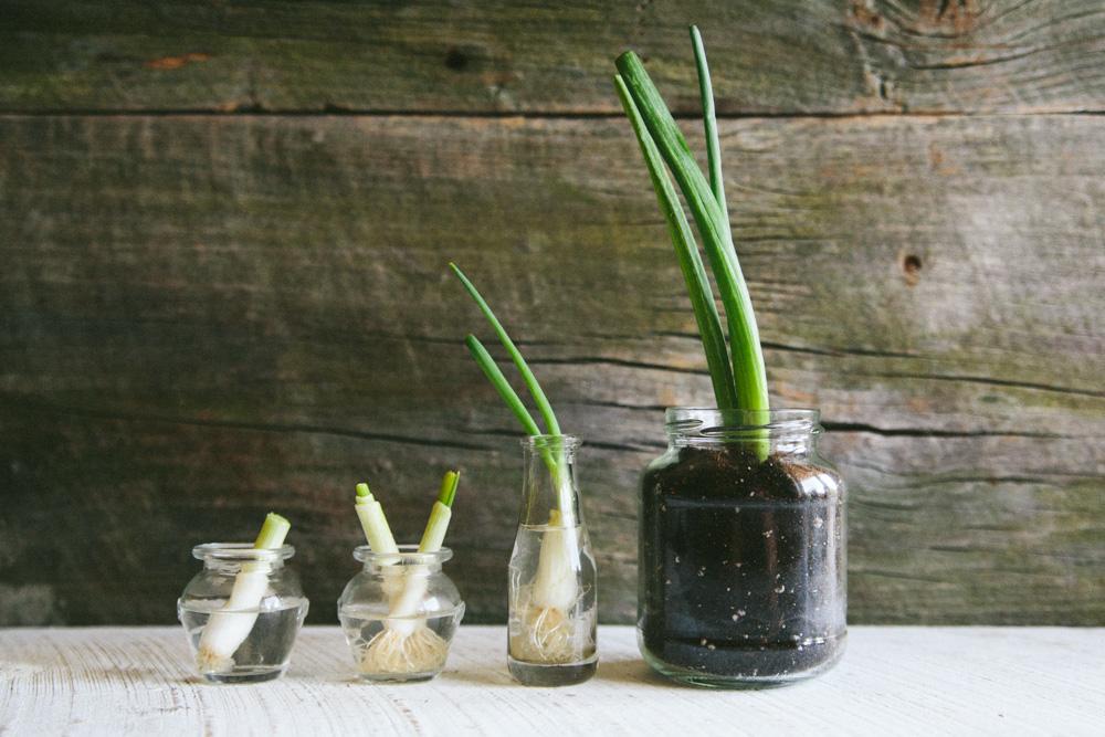 regrowing green onion