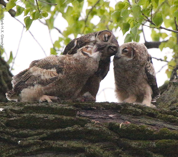 How to Find an Owl in Your Neighborhood