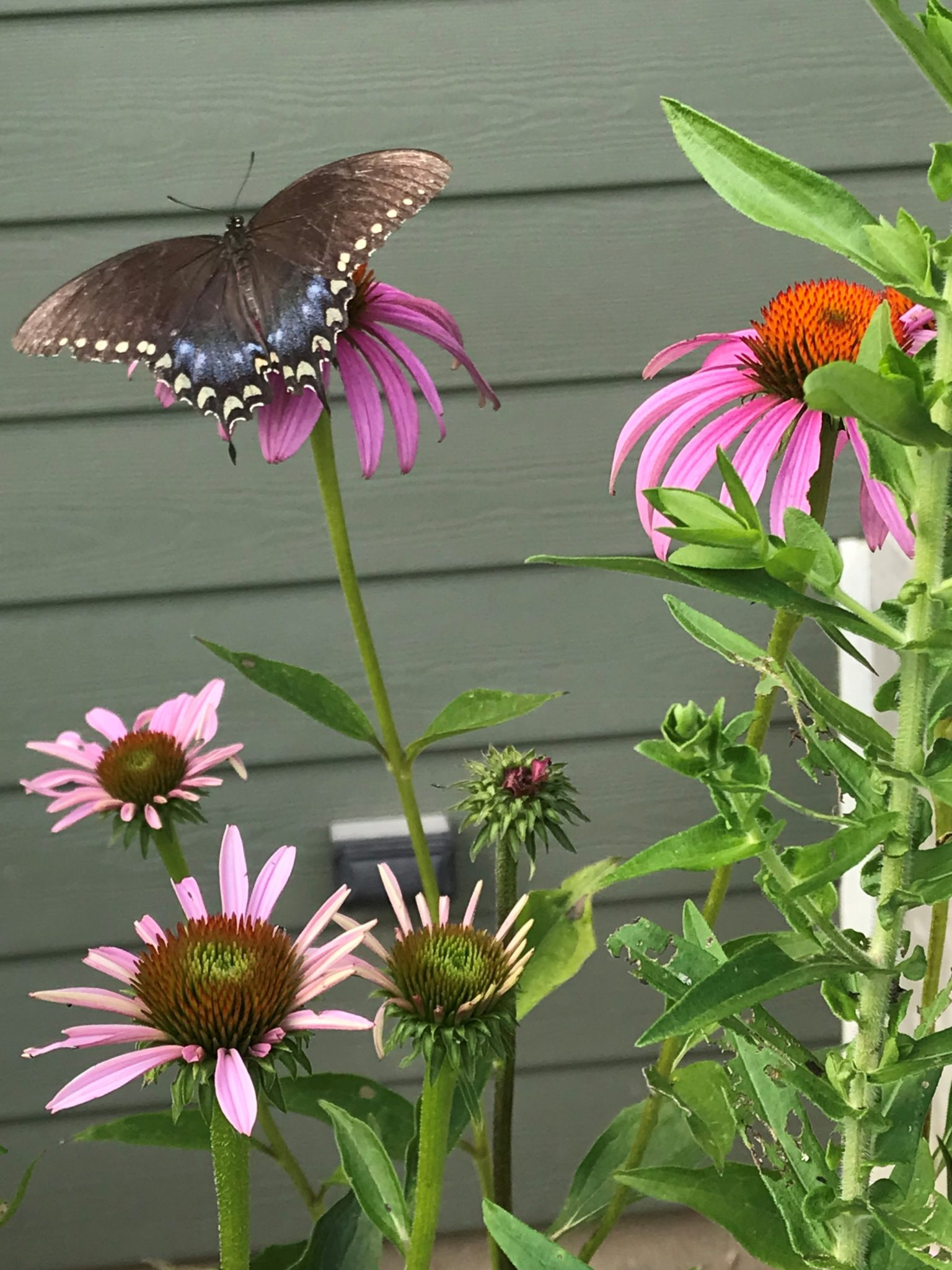 Parsnip Swallowtail butterfly on a coneflower.