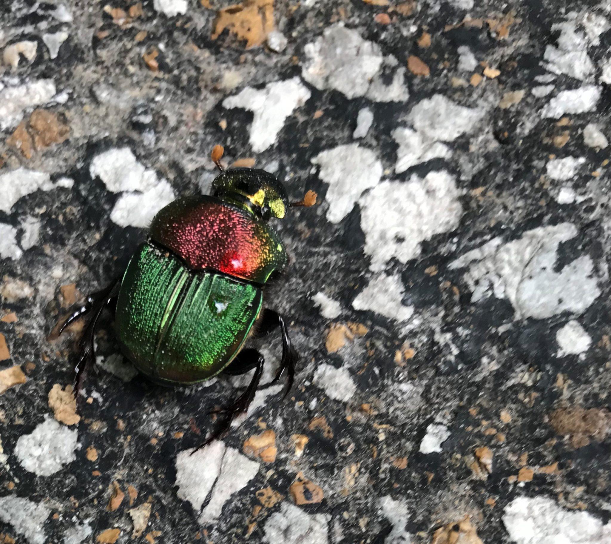 Rainbow Dung Beetle